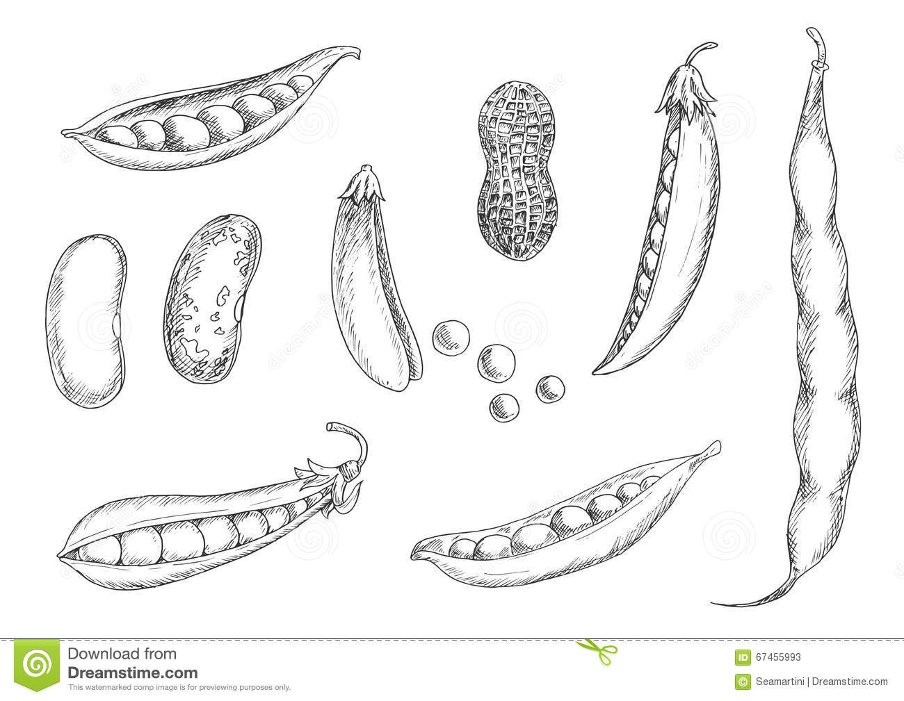 Sketches Of Peanut Pea Pods And Beans Stock Vector