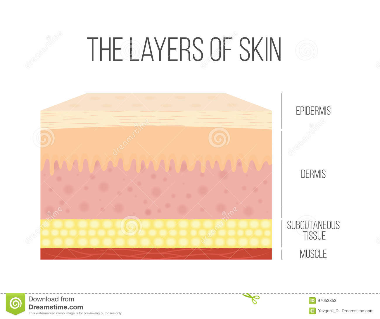 Skin Layers Healthy Normal Human Skin Stock Vector