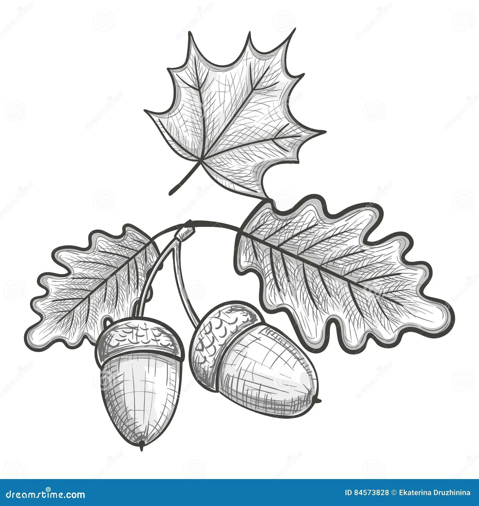 Skizze Eines Eichenblattes Und Eichel Vektor Abbildung