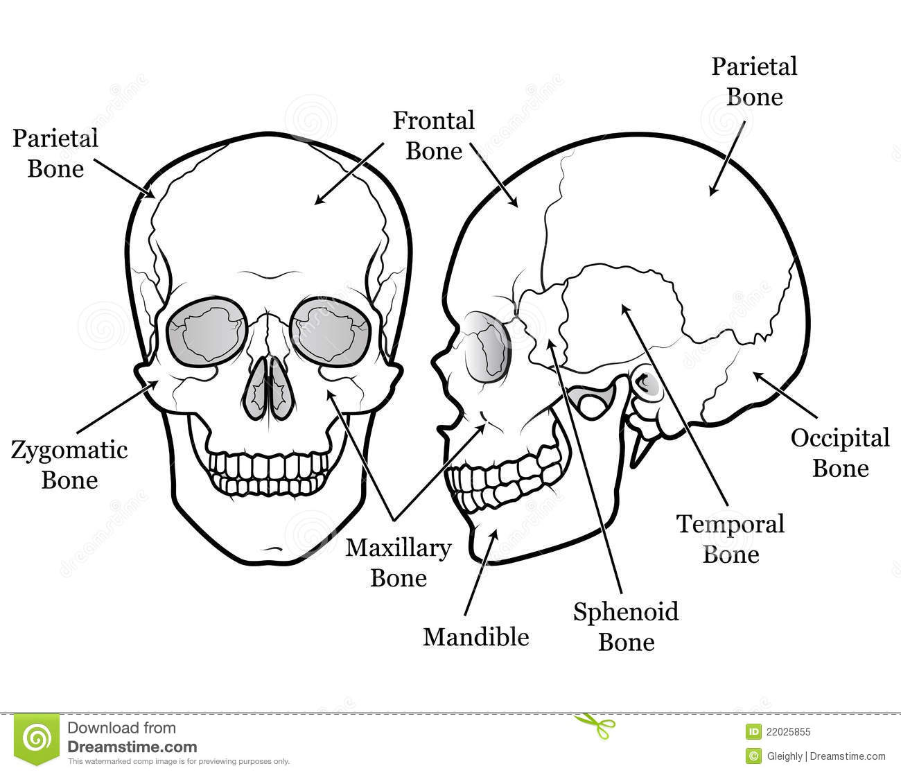 Skull Chart Royalty Free Stock Photo