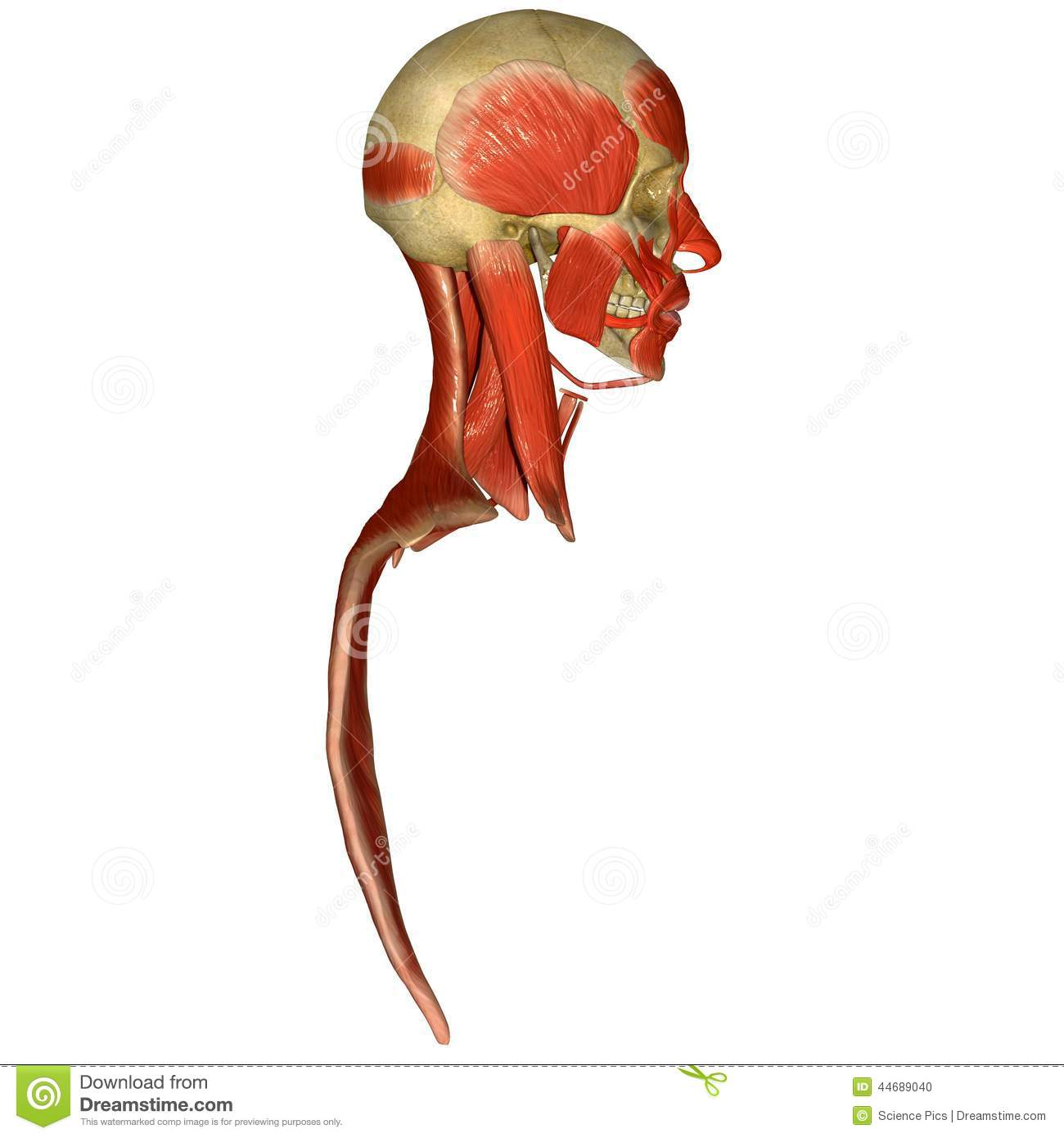 Skull With Facial Muscles Side View Stock Illustration