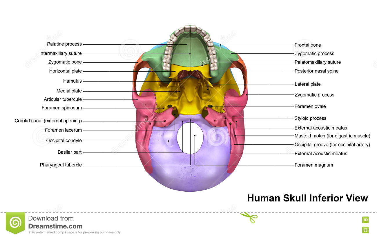 Skull Inferior View Stock Illustration Illustration Of