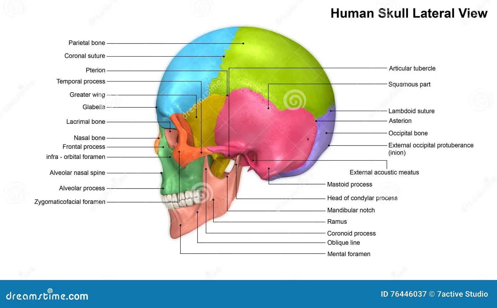 Skull Lateral View Stock Illustration Illustration Of