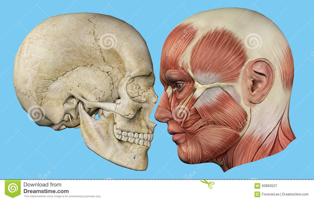 Skull And Muscles Profile Stock Illustration