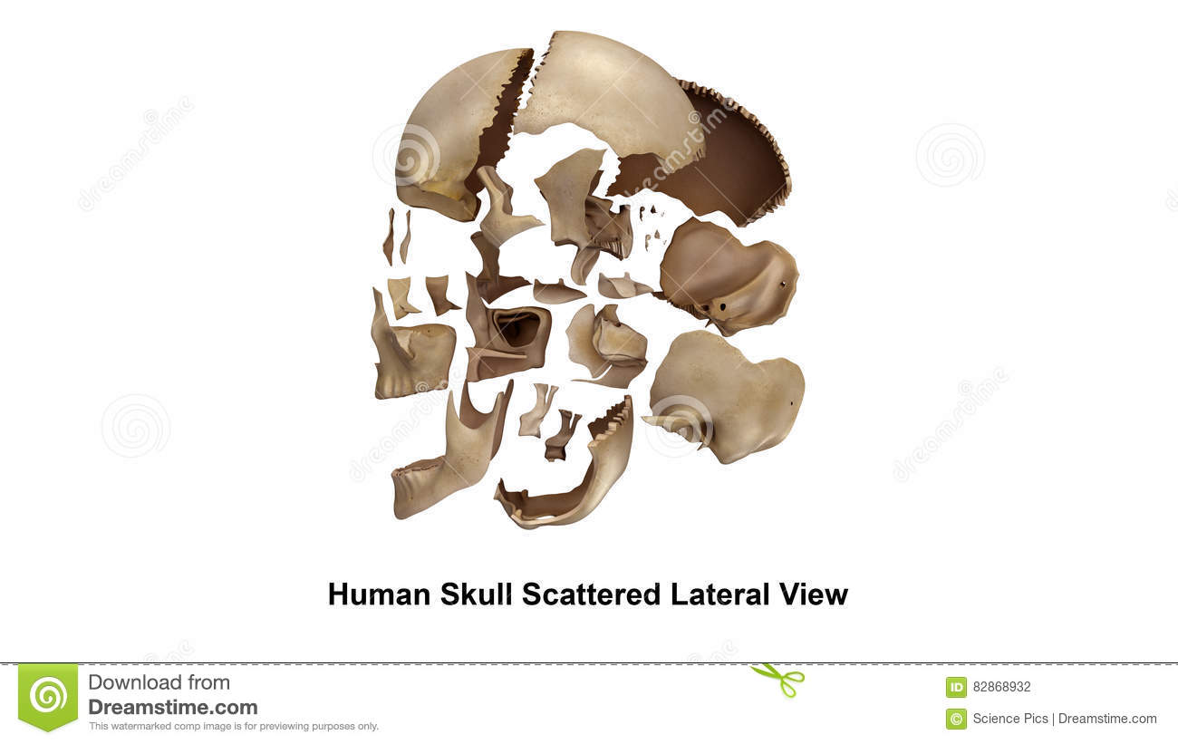 Skull Scattered Lateral View Stock Illustration