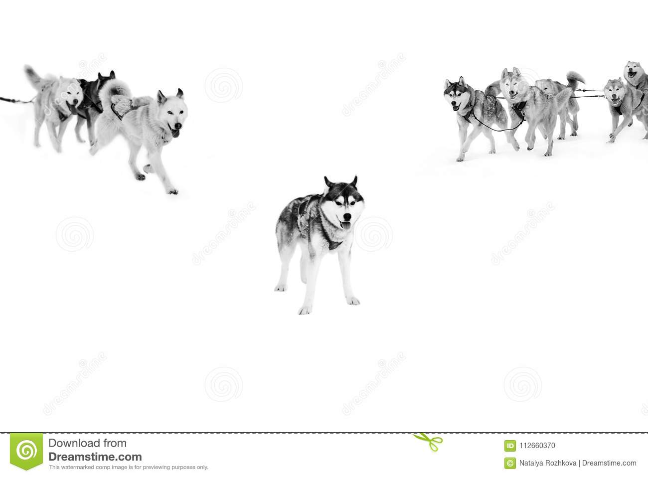 Sled Dogs In Harness On Isolated In White Stock Photo