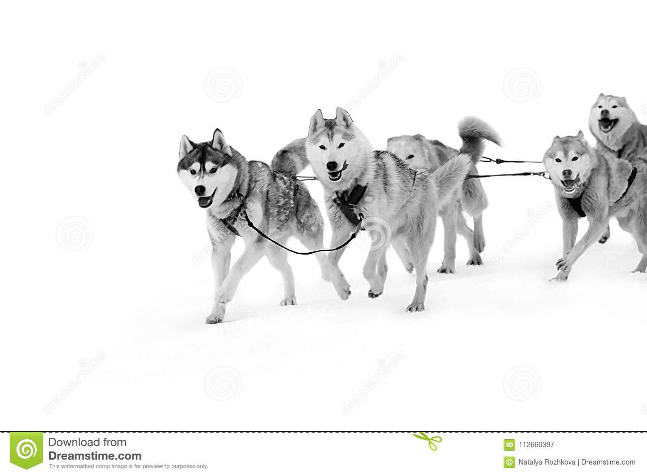 Sled Dogs In Harness On Isolated In White Stock Image