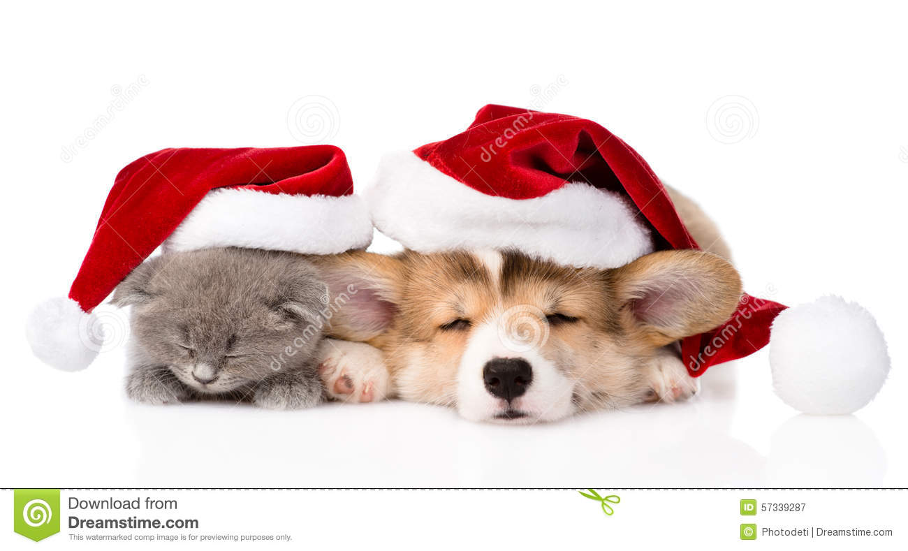 Sleeping Pembroke Welsh Corgi Puppy And Kitten With Red