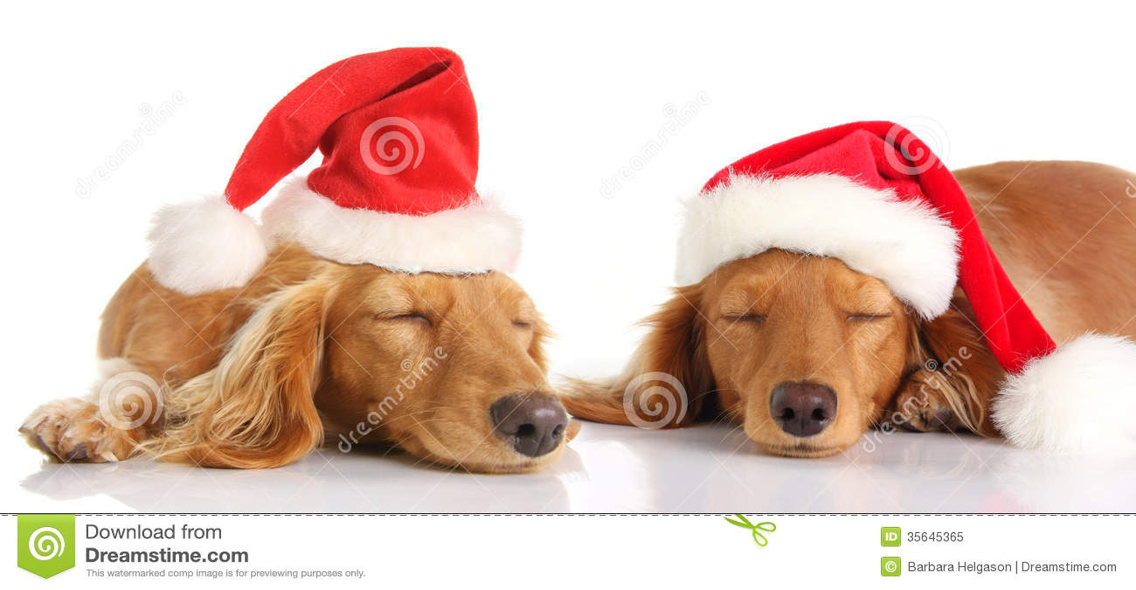 Sleepy Santa Christmas Dogs Royalty Free Stock Photo