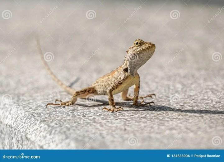 small baby oriental garden lizard on the floor stock photo
