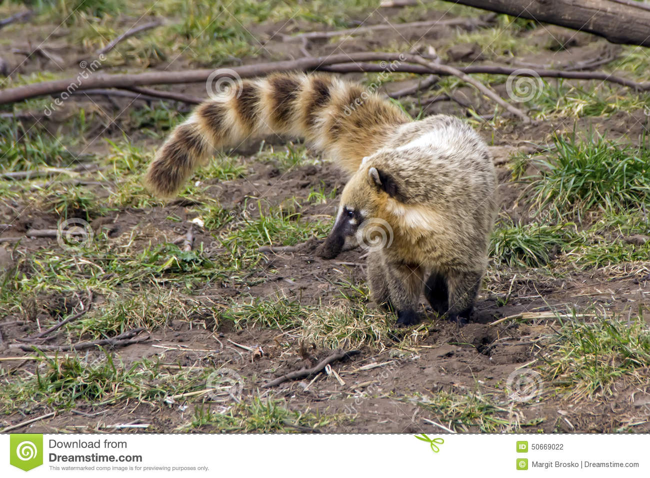 South American Coati Stock Photo