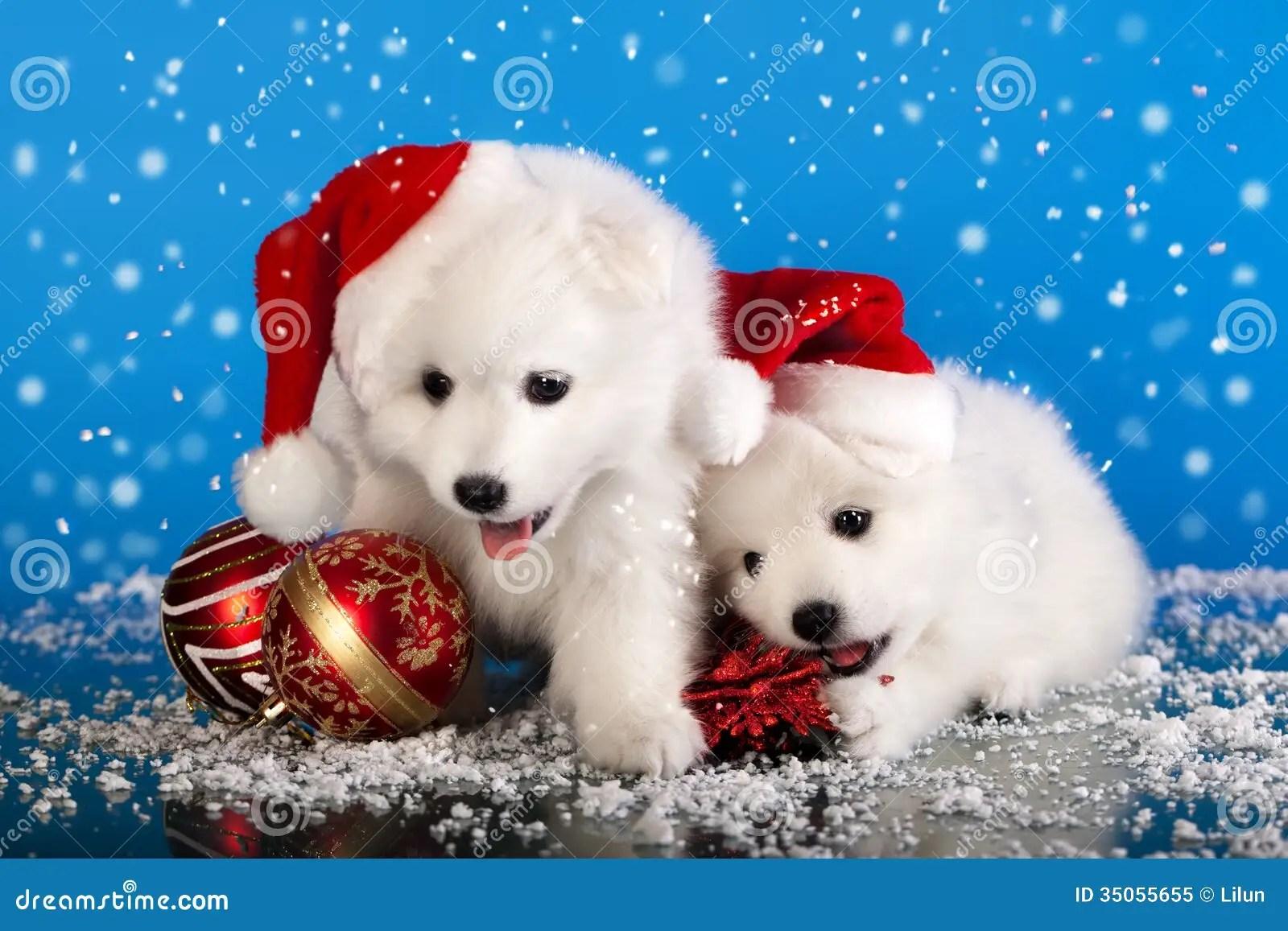 Spitz Dei Cuccioli Di Natale Immagine Stock Immagine Di
