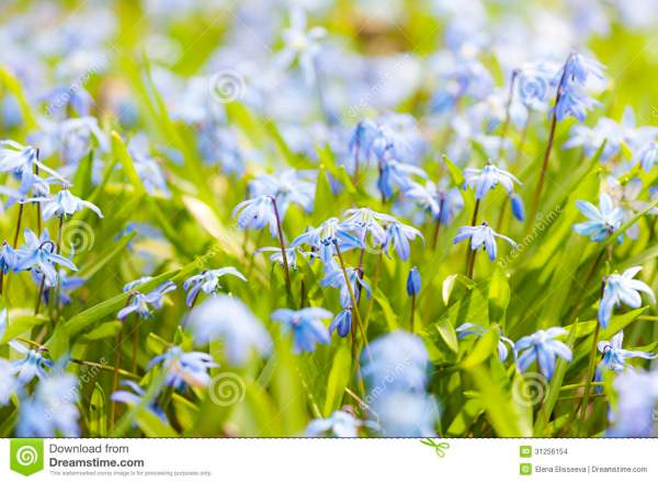 Spring Blue Flowers Stock Images Image 31256154