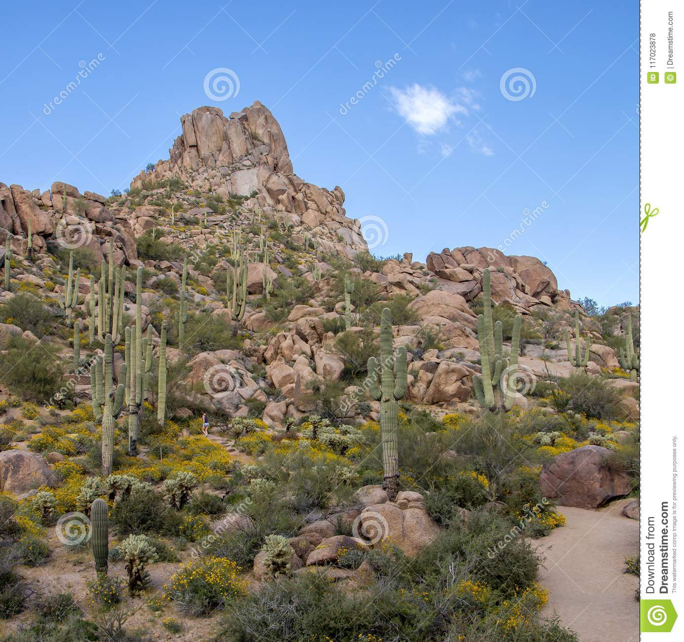 Young hikers will feel like they are traveling in this mountaineer's. Desert Wild Flowers On Pinnacle Peak Trail In North Scottsdale Stock Photo Image Of Spring Pinnacle 117023878