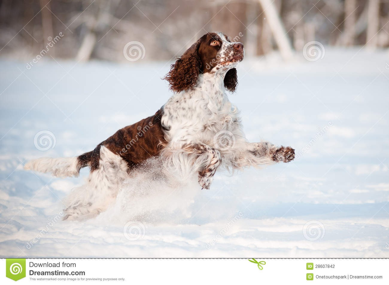 Springer Spaniel Dog Running And Jumping In The Snow Stock
