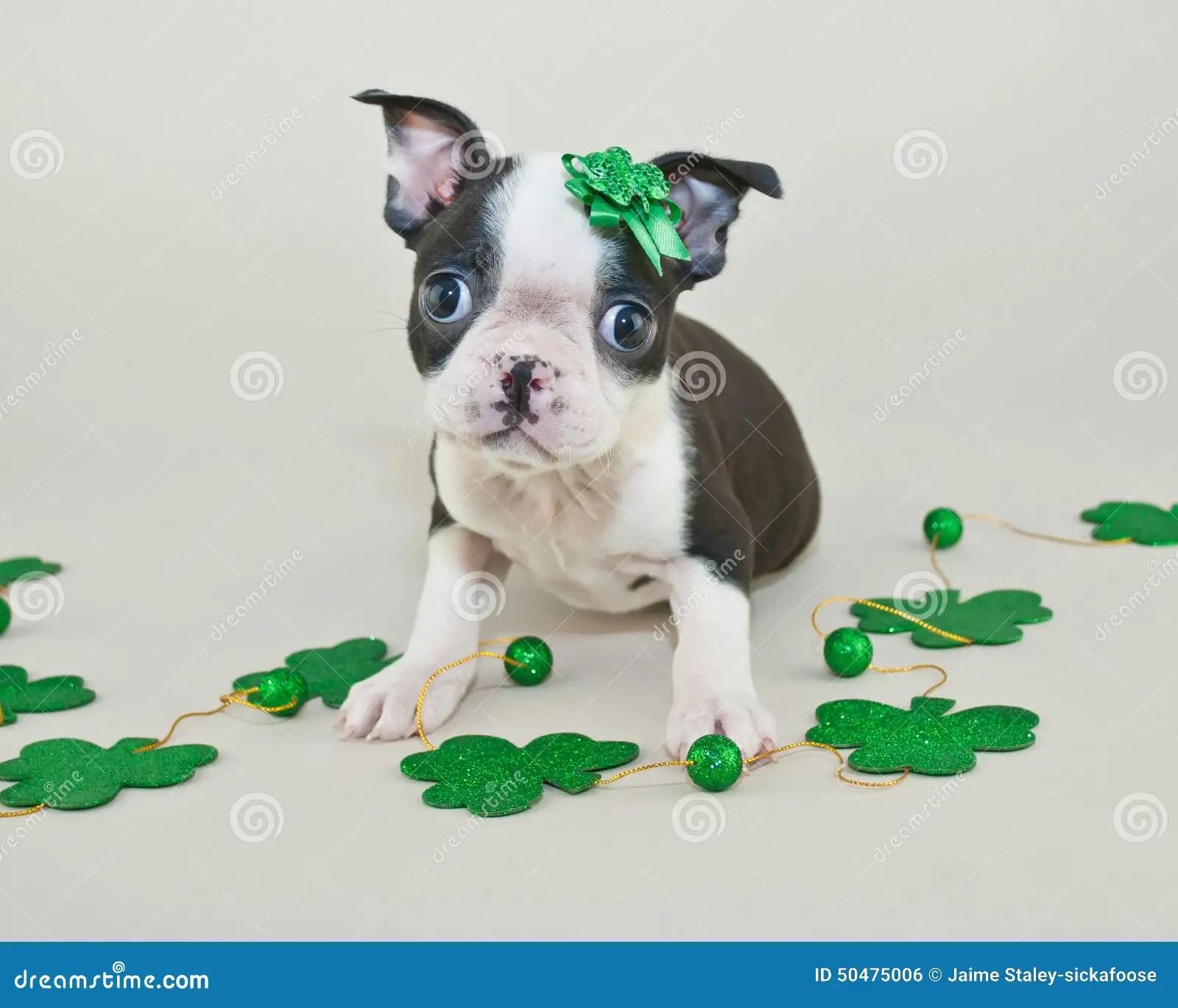 St Patricks Day Puppy Stock Photo Image Of Shamrock