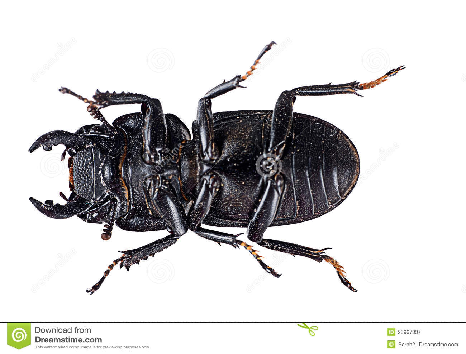 Stag Beetle Underside
