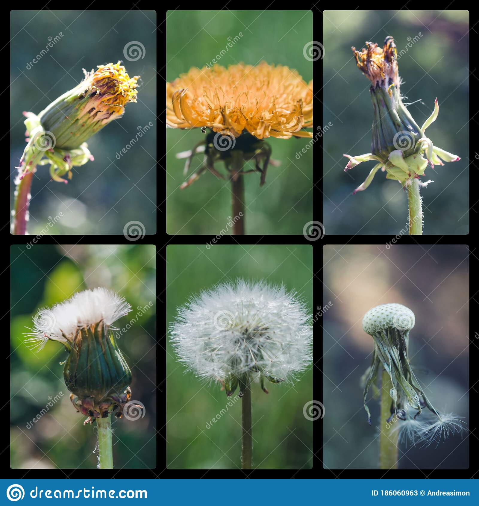 Life Cycle Of A Dandelion Stock Image Image Of Cycle
