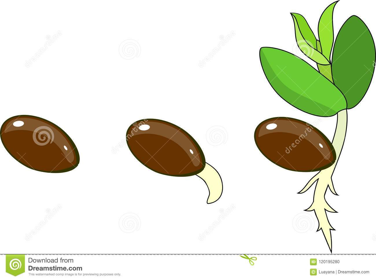 Stages Of Germination Of Seed Stock Vector