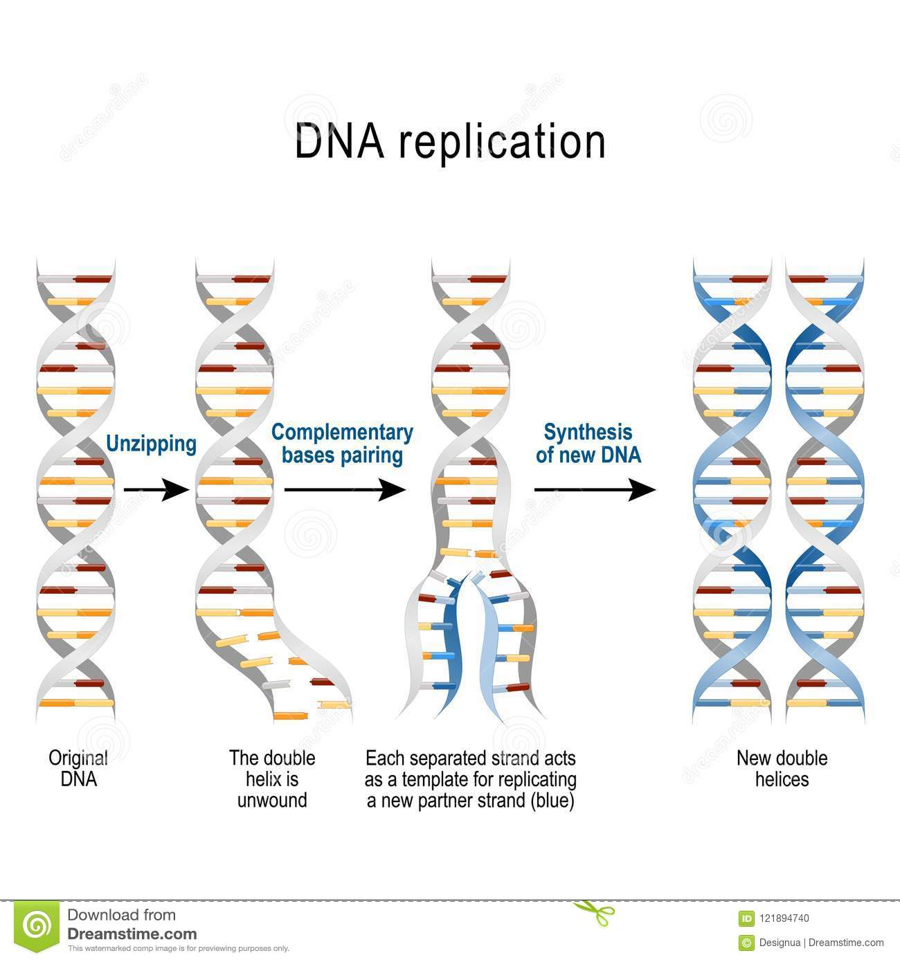 39 Tutorial 3 Basic Steps Of Dna Replication With Video