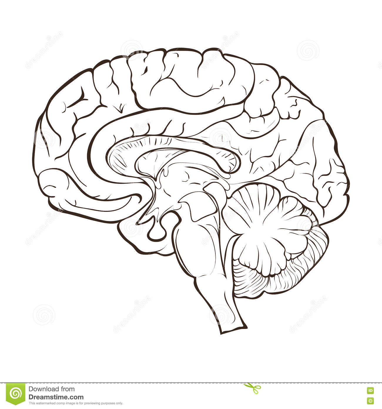 Structure Of The Human Brain Hemispheres Stock