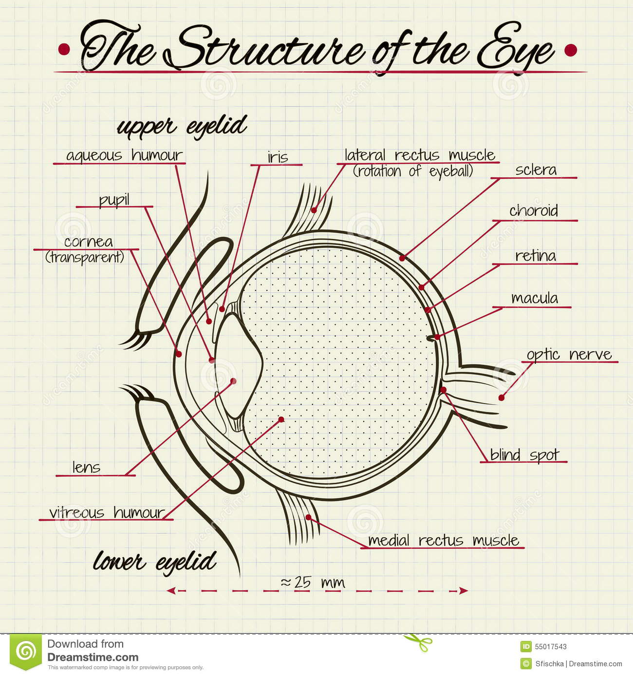 The Structure Of The Human Eye Stock Vector