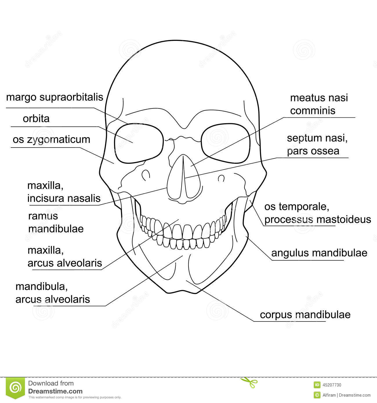Structure Of The Human Skull Stock Vector