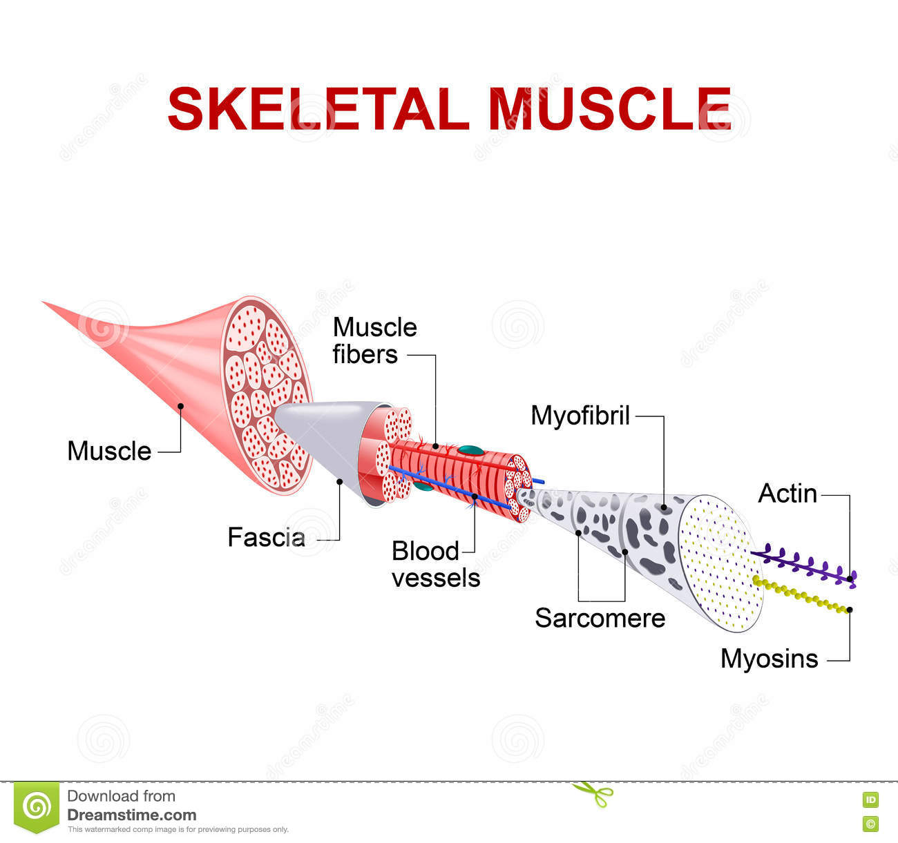 Structure Of Skeletal Muscle Stock Vector