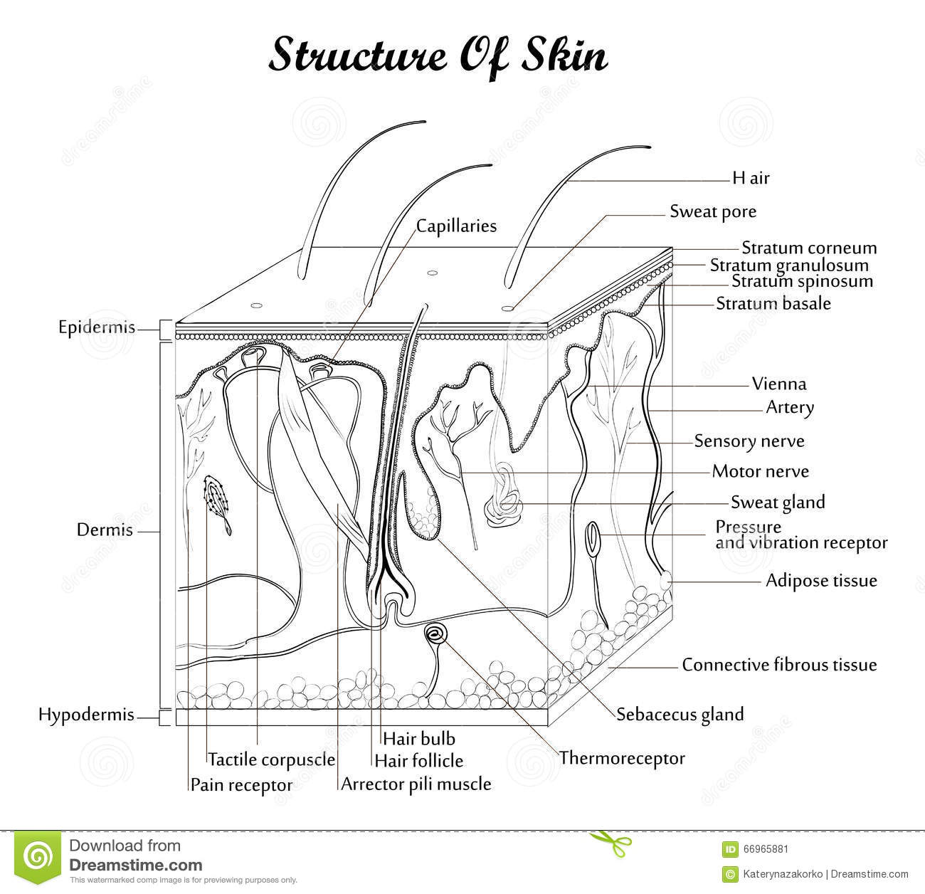 Structure Of Skin Stock Vector Illustration Of Dermis