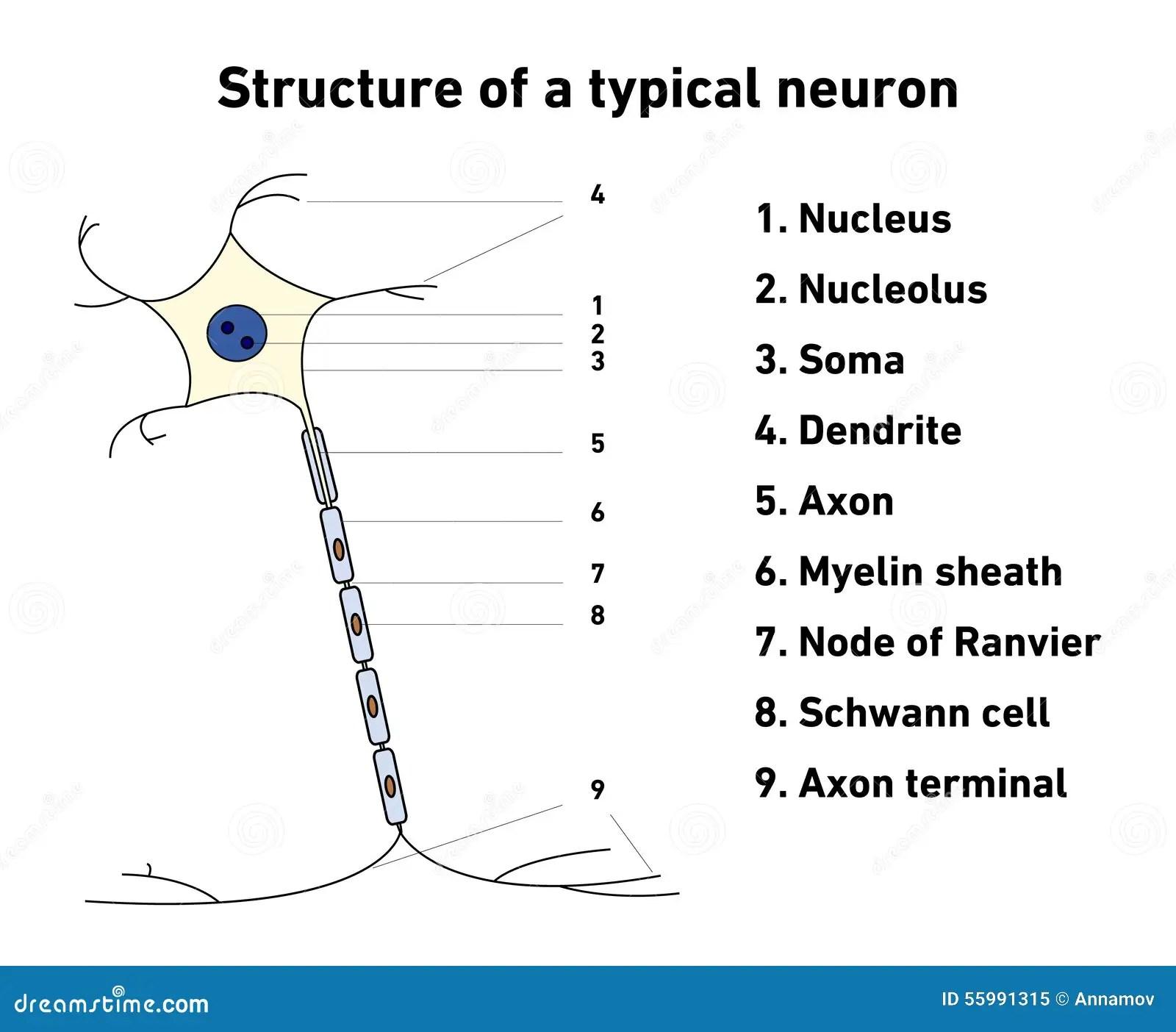 Structuur Van Een Typisch Neuron Vector Illustratie