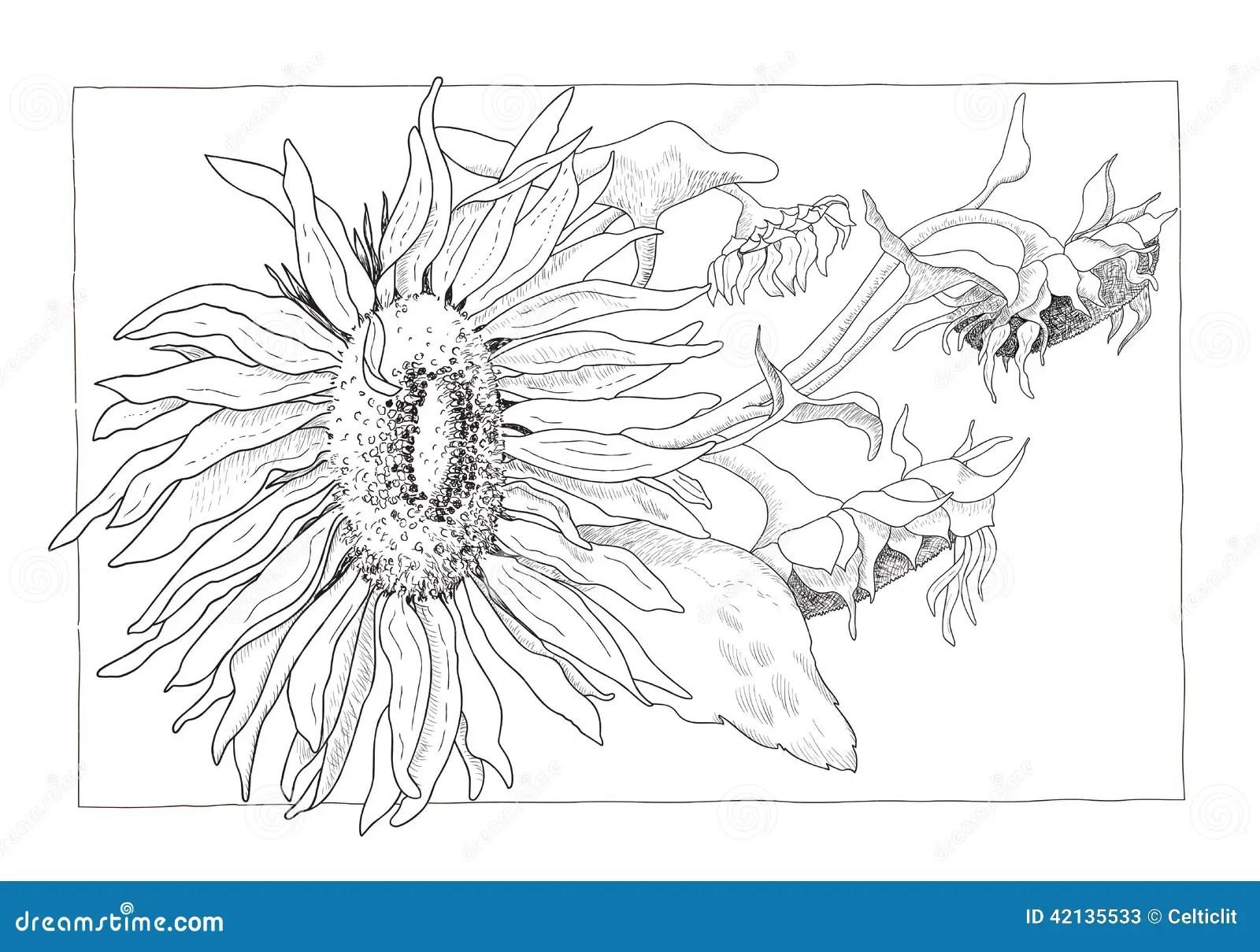Sunflower Illustration In Black And White Stock Vector