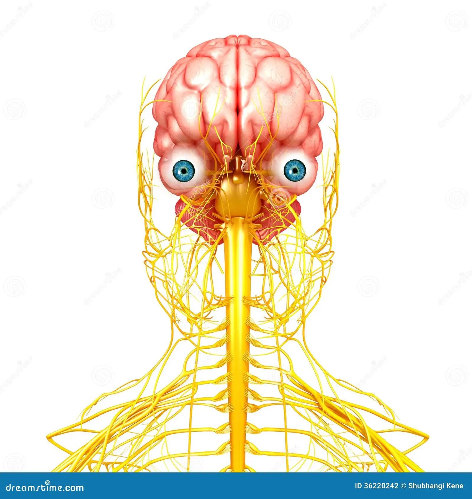 Systeme Nerveux De Vue Humaine De Partie Anterieure