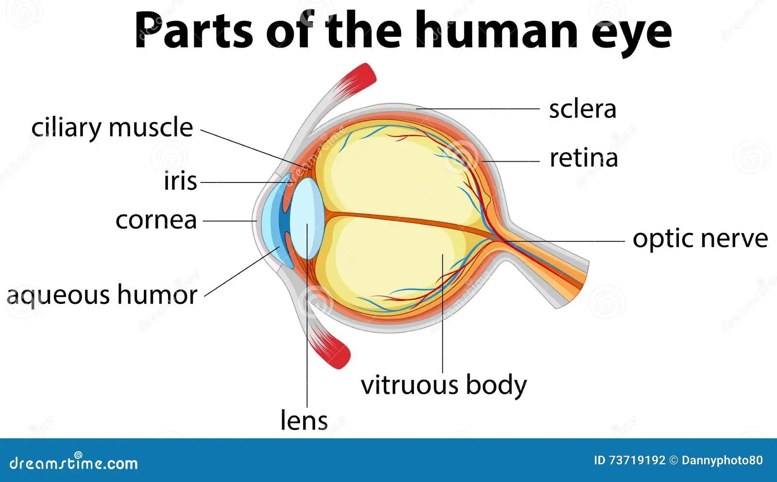Teile Des Menschlichen Auges Mit Namen Vektor Abbildung