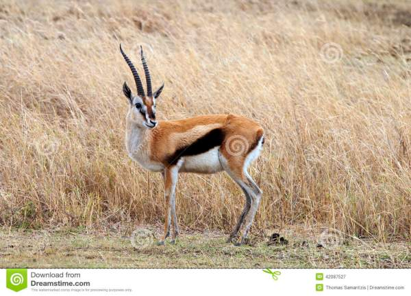 africa tanzania thomsons gazelle eudorcas thomsonii - HD1300×957