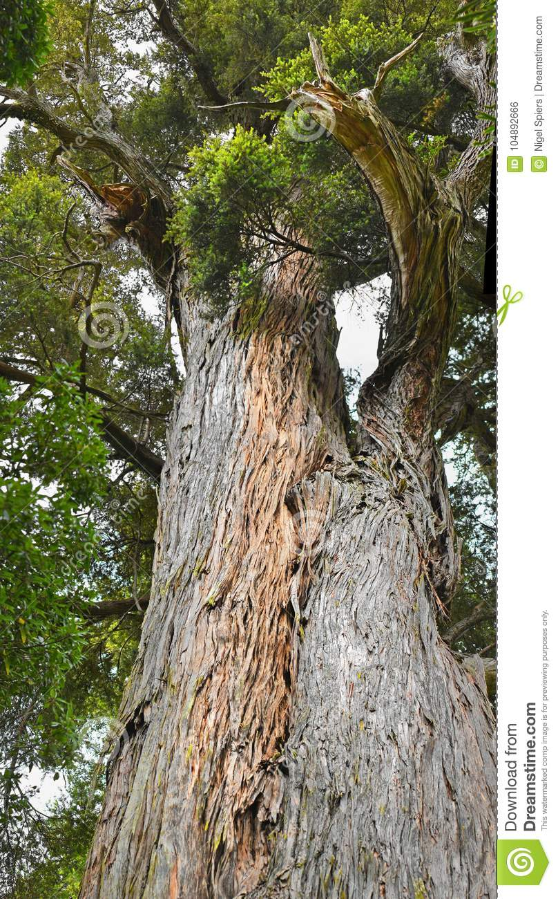 Detect cancer in its manifest. Totara Tree Photos Free Royalty Free Stock Photos From Dreamstime