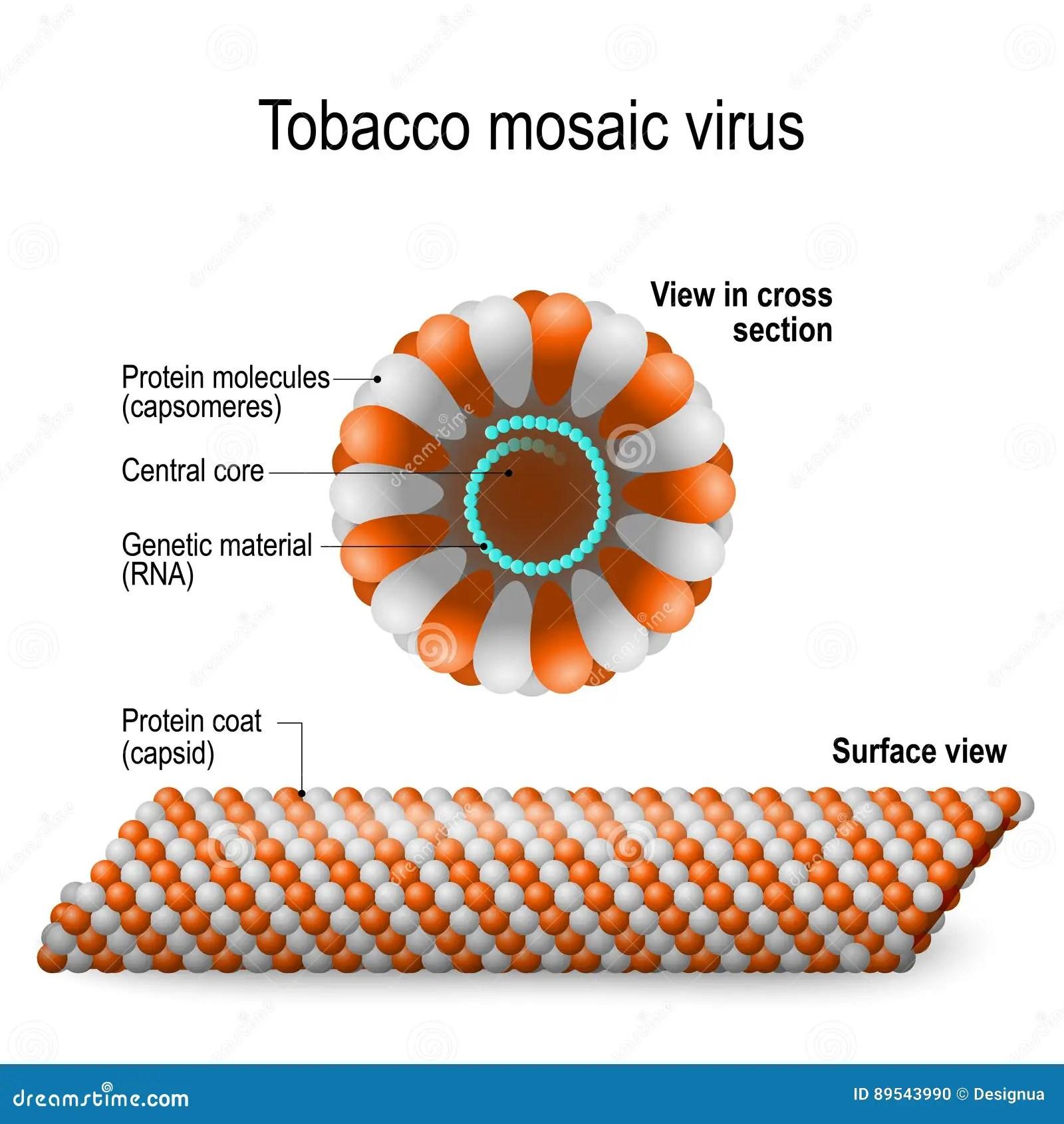 Tobacco Mosaic Virus Stock Vector