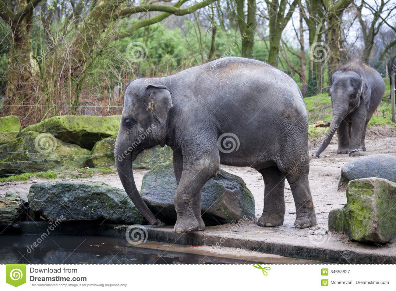 A Trained Elephant Goes After A Hard Day In The Jungle