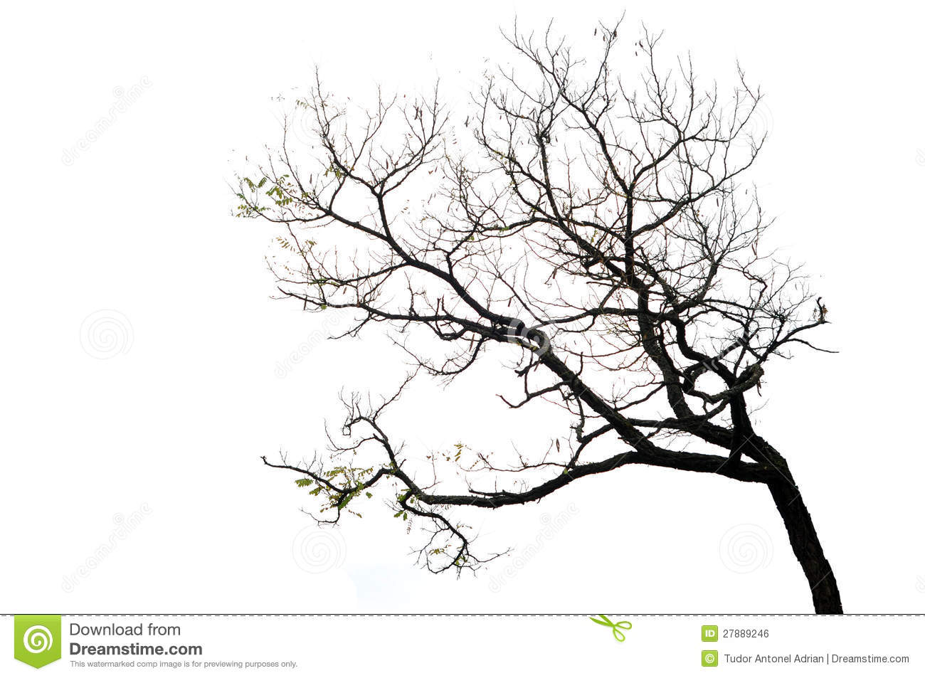 Tree Branches Isolated On The White Background Stock Photo