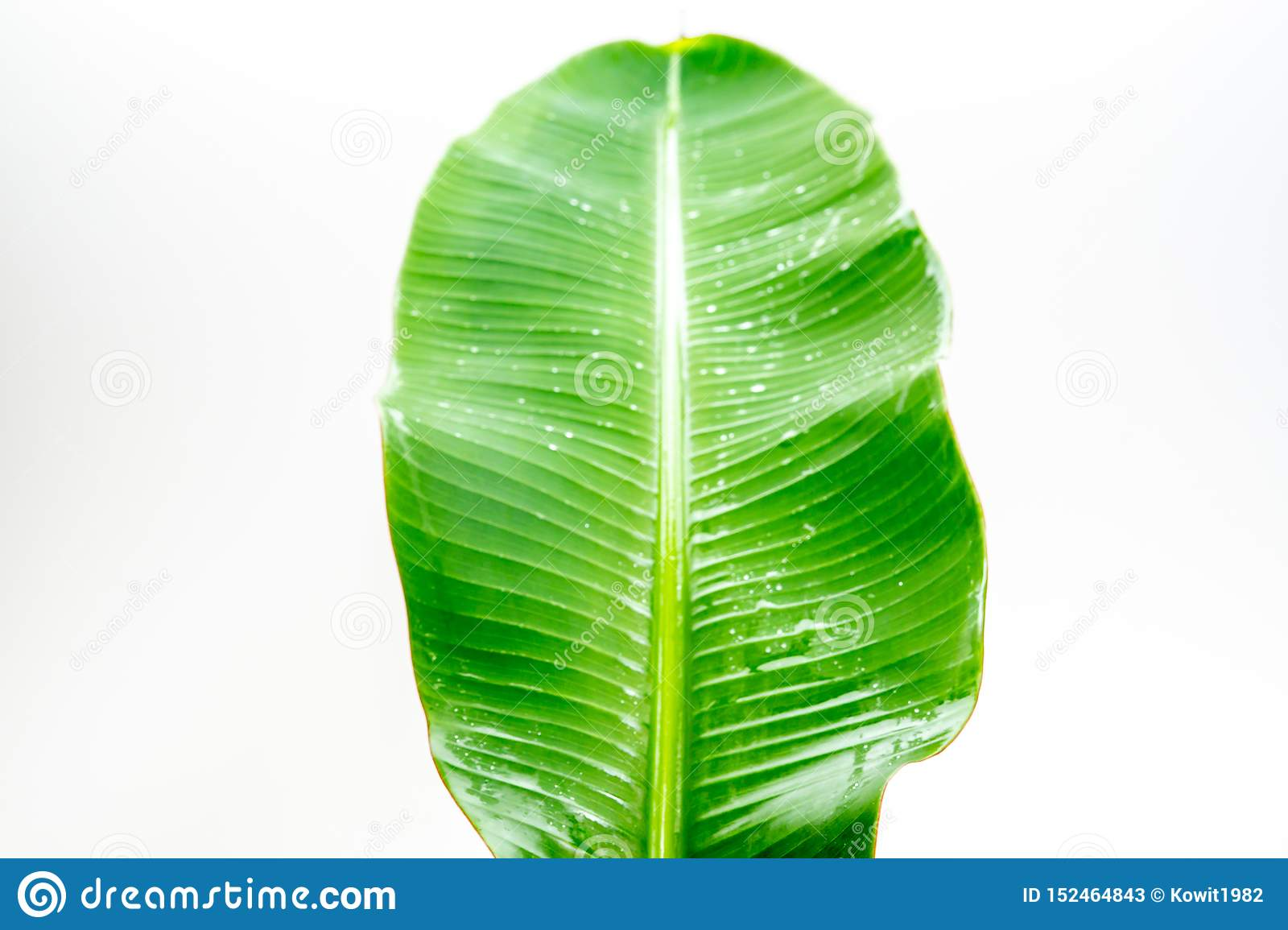 Tropical Banana Leaf In Bright Green Color Image Stock
