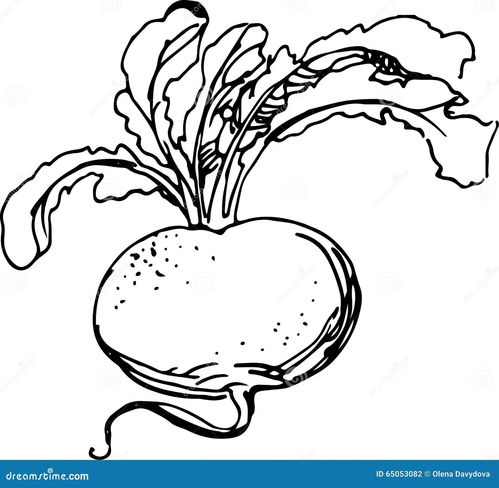 Vector Turnip Cartoon Vector
