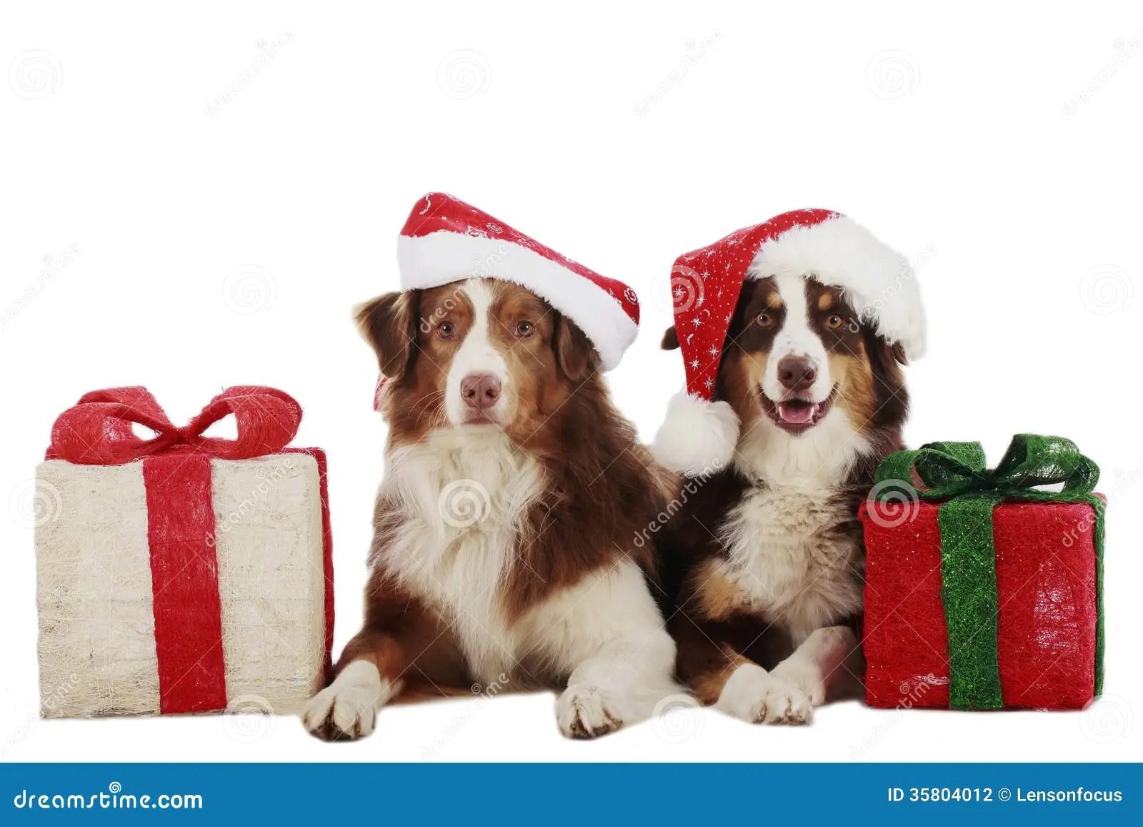 Two Australian Shepherd Dogs On Christmas Stock
