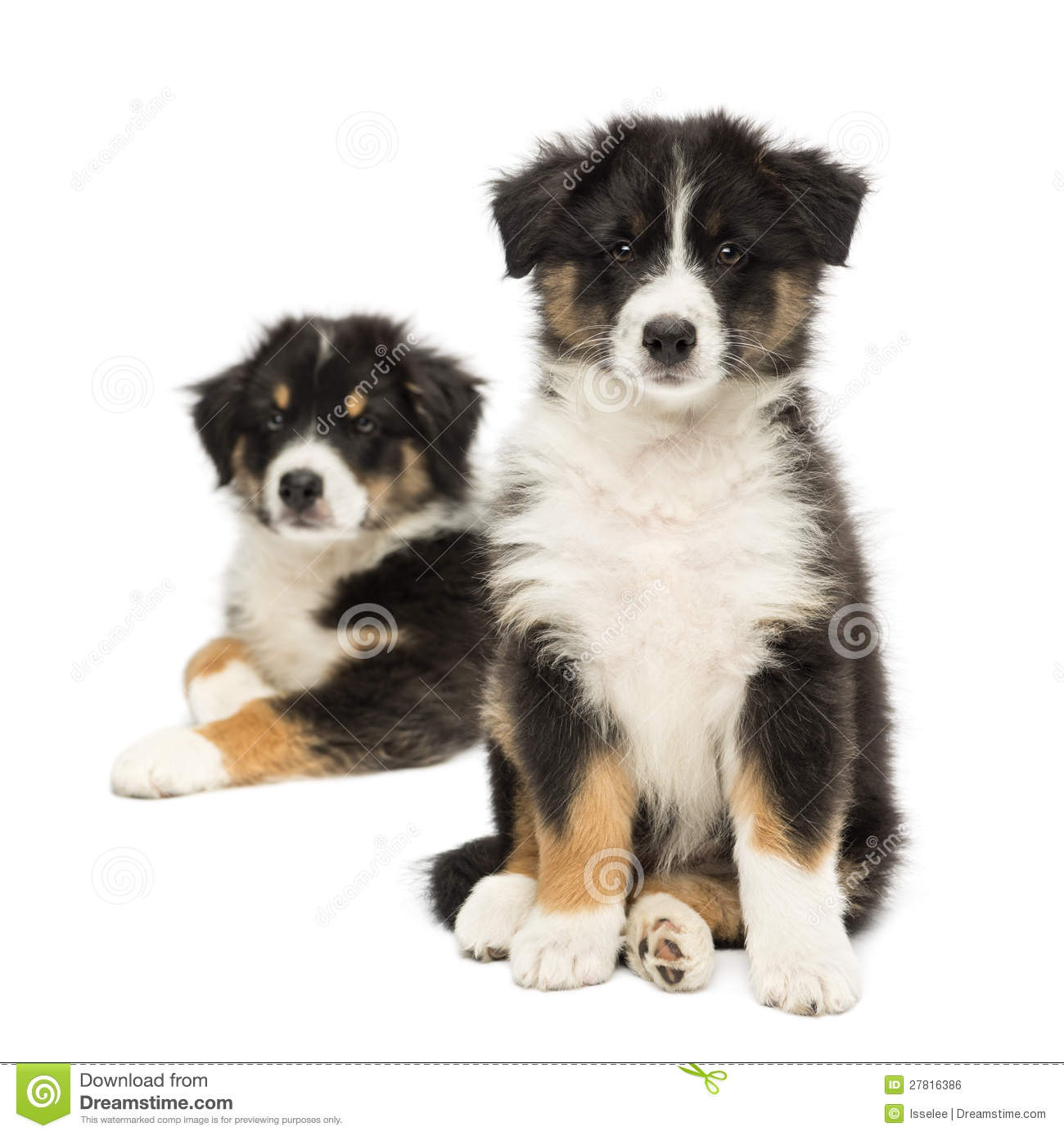 Two Australian Shepherd Puppies 2 Months Old Stock Photo