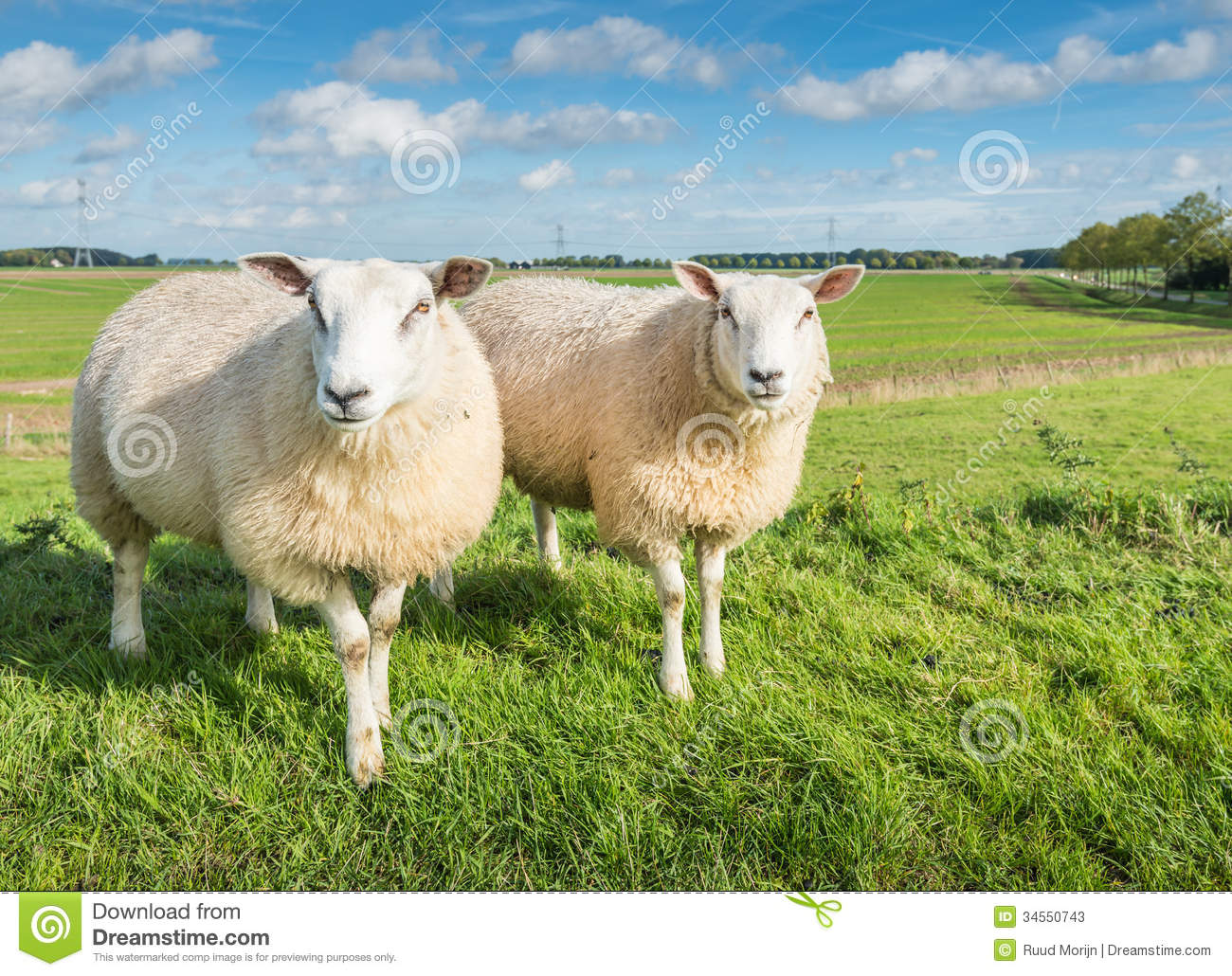 Two Curiously Looking Sheep Stock Photos