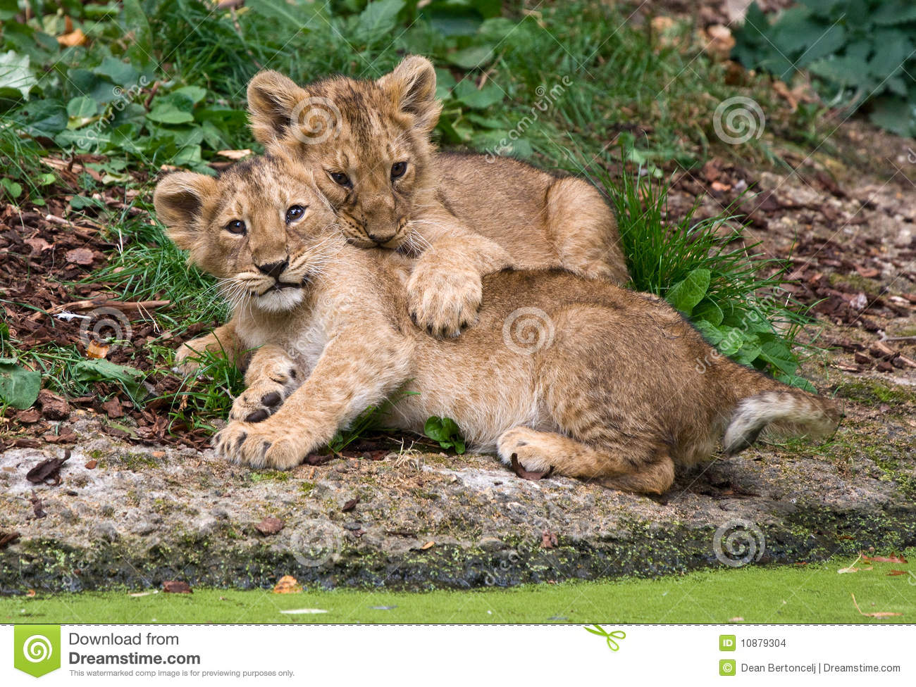 Two Cute Baby Lions Stock Photo Image Of Lion Cute