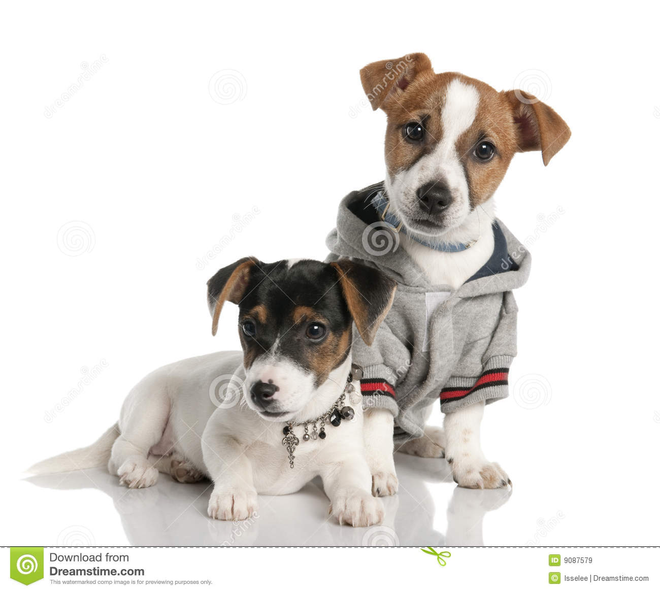 Two Jack Russell Puppy 3 Months Old Royalty Free Stock
