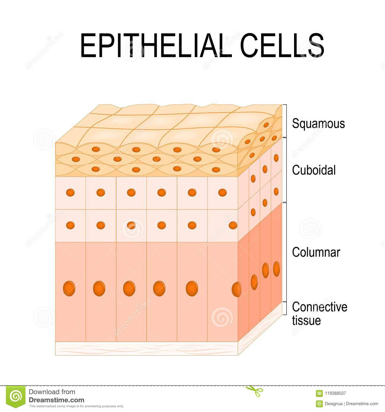 Types Of Epithelial Cells Stock Vector Illustration Of
