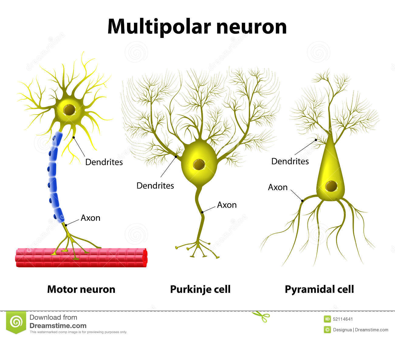 21 Fresh Neuron Label And Function