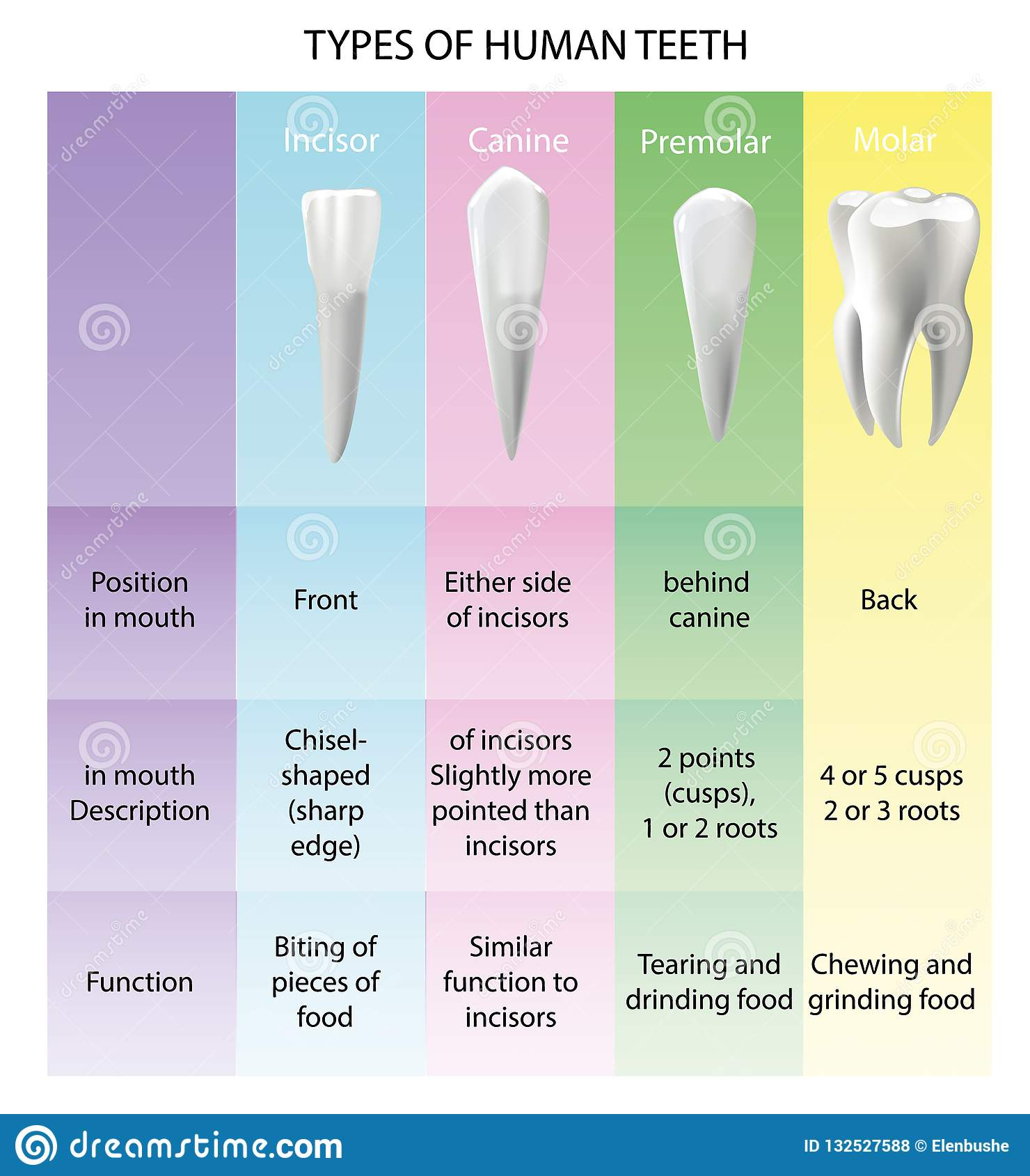 Types Of Teeth Realistic Various Human Stock Vector