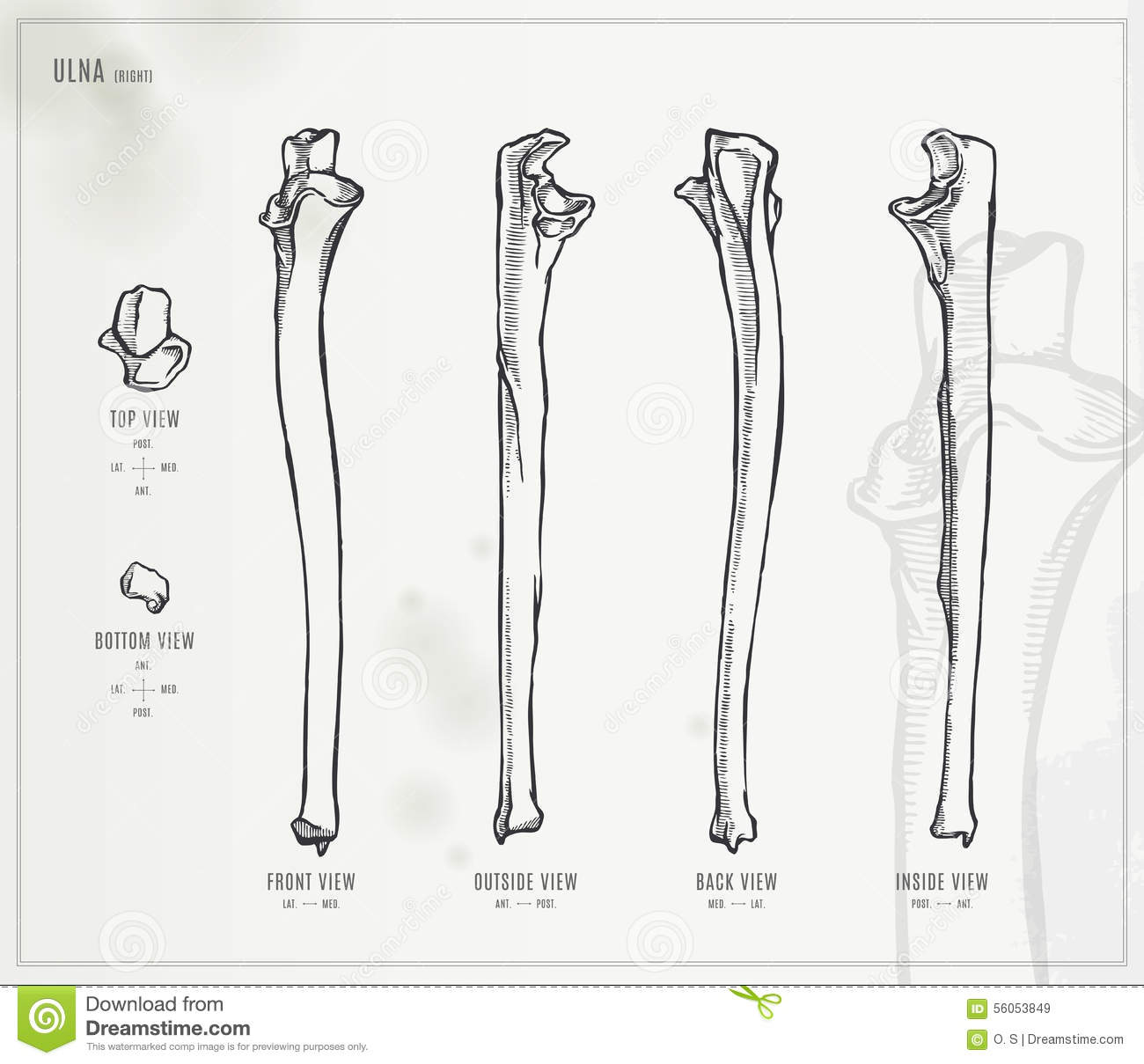 Ulna Stock Vector Illustration Of Drawing Styloid