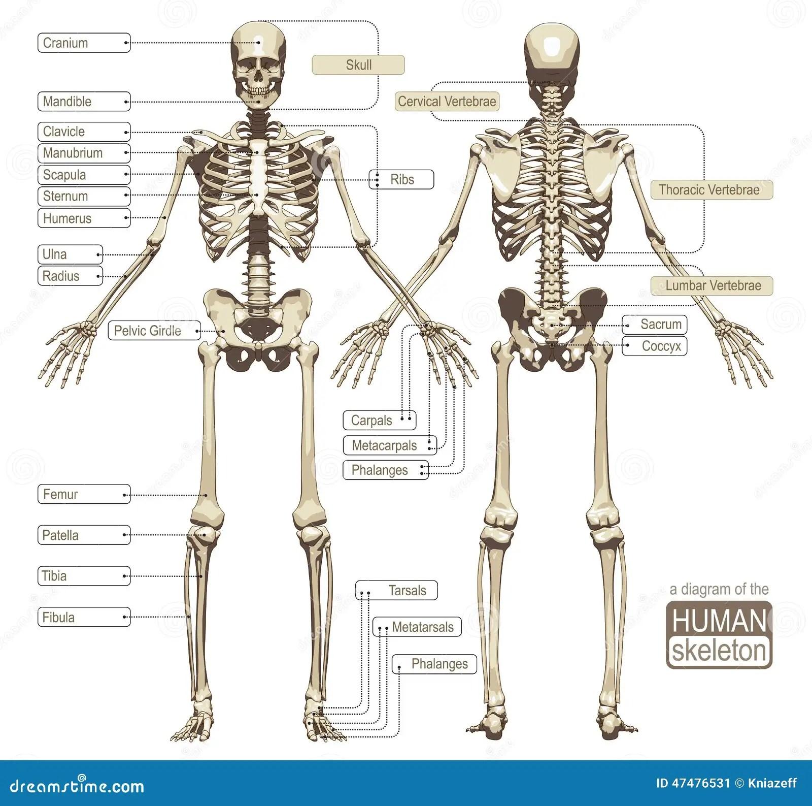Un Diagramme Du Squelette Humain Illustration De Vecteur